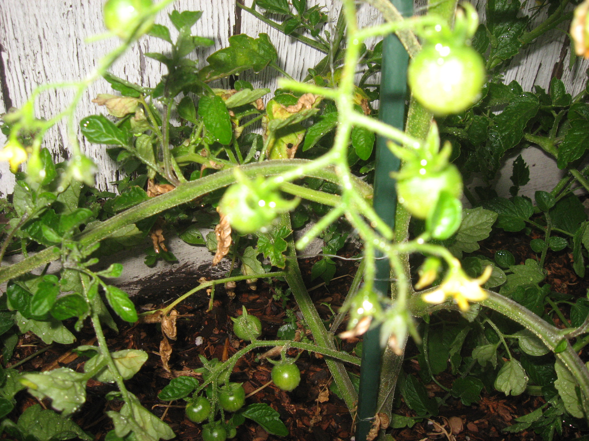 Cherry Tomatoes!